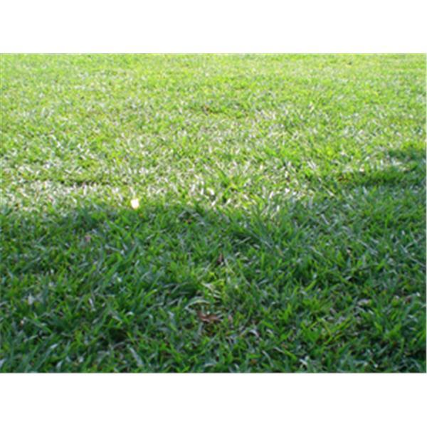巴西地毯草-鼎田園藝草皮行