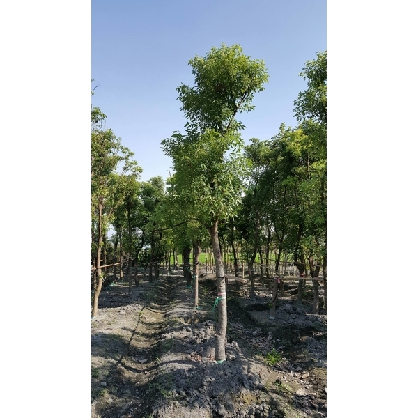 景觀樹木,庭園造景樹木,綠化樹木,園藝樹苗,道路用樹