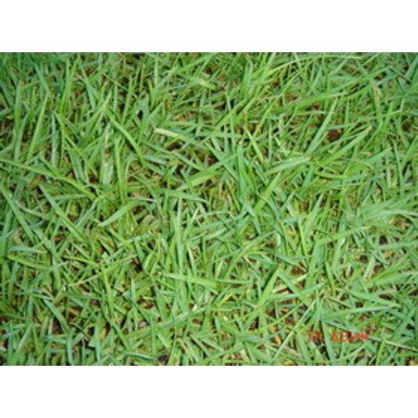 假儉草(Centipedegrass)(蜈蚣草)-永旺草皮農場