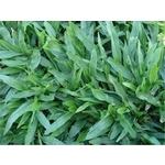 巴西地毯草(Tropical Carpetgrass)