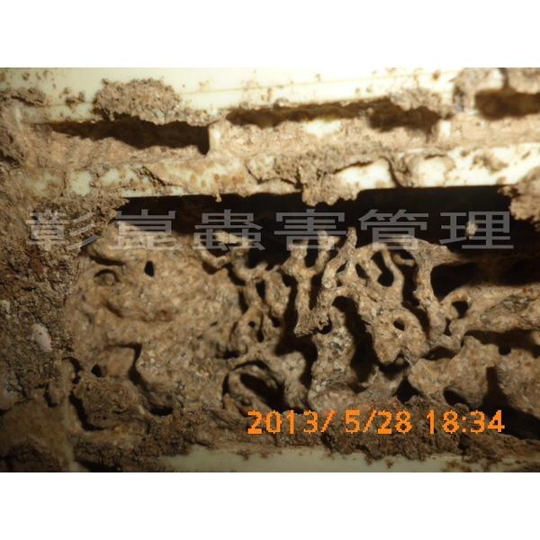室內白蟻副巢